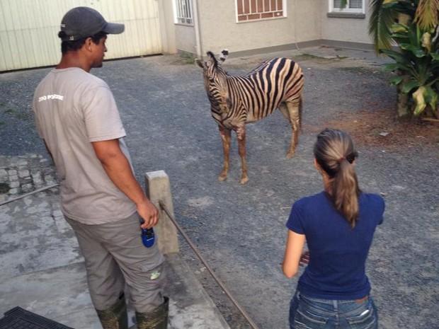 Funcionários do zoológico capturaram a zebra no terreno da marmoraria  (Foto: Cleiton Sagiorato/Divulgação)