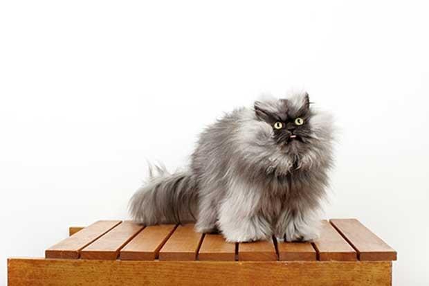 Felino de Los Angeles rece o título de gato com pelo mais comprido do mundo (Foto: Divulgação/ Guinness World Records)