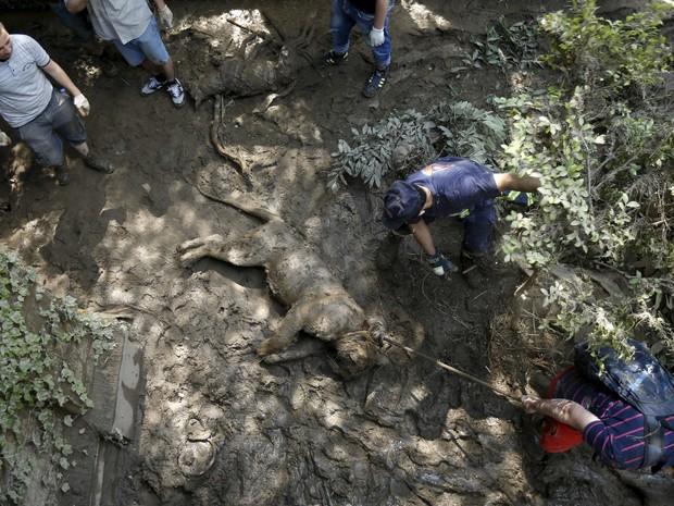 Voluntários retiram um tigre morto no zoológico de Tbilisi, na Geórgia. Tigres, leões, ursos e lobos estavam entre mais de 30 animais que escaparam de um zoológico para as ruas da capital Tbilisi no domingo (14) (Foto: David Mdzinarishvili/Reuters)