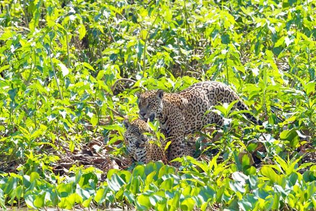 Em outra imagem, casal de onças é visto no momento do acasalamento (Foto: Divulgação/Douglas Trent/Projeto Bichos do Pantanal)