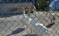 Gansos ajudam na segurança do prédio da Fatec (Maiara Barbosa/ G1)