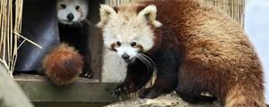 Panda vermelho é achado três dias após fugir de zoológico na Califórnia (Shaun Walker/The Times-Standard via AP, File)