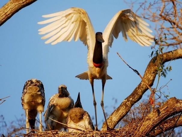 O tuiuiú é a ave-símbolo do Pantanal (Foto: Divulgação/ José Medeiros / Arquivo Parna do Pantanal Matogrossense)