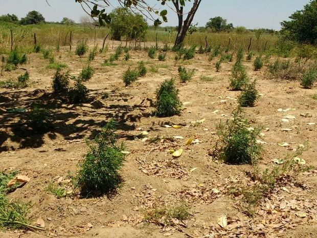 Plantação de maconha encontrada em Belém do São Francisco (Foto: Divulgação / Polícia Militar)