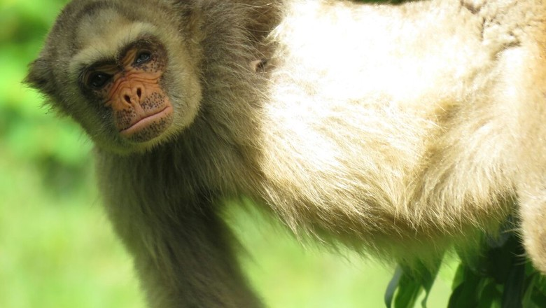esmeralda-muiriqui-macaco (Foto: Divulgação)