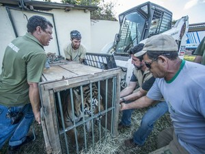 Homens trabalham para fazer transferência de tigre de zoológico para santuário (Foto: Santuário Rancho dos Gnomos/Reprodução)