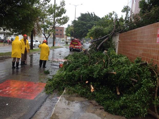 Uma das árvores que cairam em Jão Pessoa, nesta quinta-feira (25) (Foto: Walter Paparazzo/G1)
