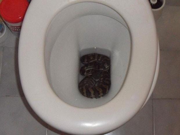 Cobra enorme foi encontrada enrolada dentro de privada (Foto: Reprodução/Facebook/Snake Catchers Brisbane, Ipswich, Gold Coast & Toowoomba)