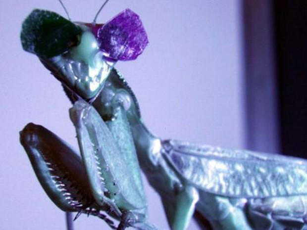 Entender funcionamento óptico do louva-a-deus permitirá compreender evolução da visão 3D (Foto: BBC/Universidade de Newcastle)