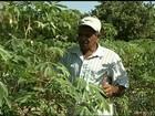 Estudo pode aumentar produção de mandioca sem deixar custo mais alto