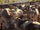 GO deve se tornar o maior produtor de carne do país em 5 anos, diz FGV