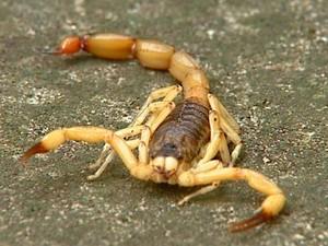 Escorpião é o animal que mais ataca no CE; e a serpente, a que mais mata.