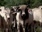 Criador segura o gado no pasto na expectativa de recuperação de preços
