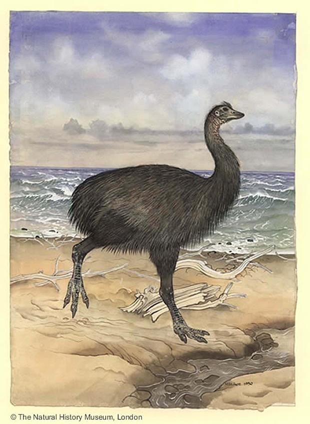 Desenho fornecido pelo Museu de História Natural de Londres (Foto: Maurice Wilson/The Natural History Museum/NYT)
