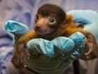 Zoológico de San Diego apresenta filhote raro de lêmure