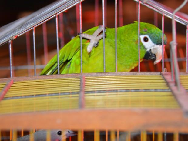 Papagaio estava entre aves resgatadas (Fot Walter Paparazzo/G1)