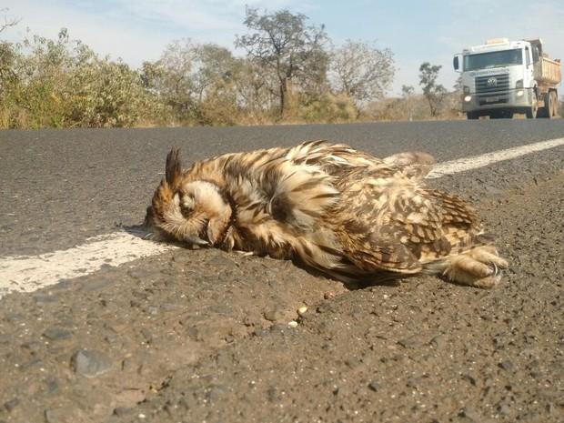 Coruja orelhuda encontrada morta na MGC-452, em Uberlândia (Foto: Polícia Militar de Meio Ambiente/Divulgação)