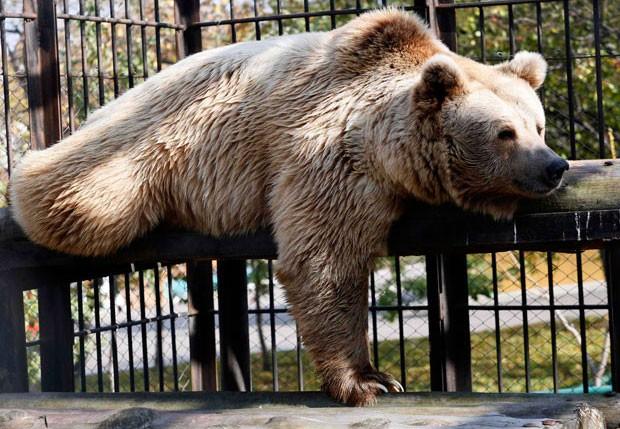 Com aparência de cansado, um urso foi fotografadona maior preguiça em zoo russo (Foto: Ilya Naymushin/Reuters)