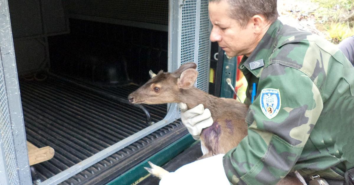 Polícia Ambiental recolhe cervo atacado por cães, no ES - Globo.com
