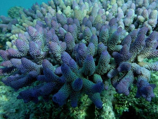 Coral encontrado na Grande Barreira, localizado no litoral da Austrália (Foto: Cortesia/Carlos Sanchez)