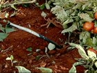 Produtor testa modelo de irrigação em lavouras de tomate de Goiás
