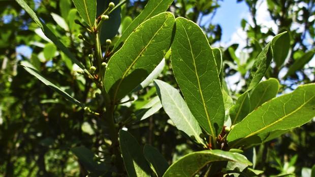 Essa árvore é conhecida por sua folha de odor específico, o louro, utilizado na culinária como tempero (Foto: Giselda Person / TG)