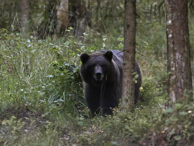 Urso visto a partir de um abrigo de observação na Estônia (Foto: Ints Kalnins/Reuters)