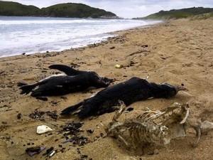 Em agosto de 2012, 74 pinguins foram encontrados mortos na Praia do Peró (Foto: Marcelo Valente)