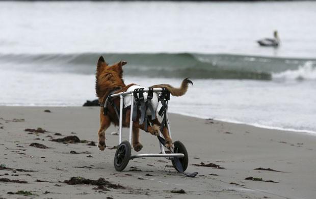 Cão paraplégico anda de cadeira de rodas em praia de Chorrillos, na região de Lima, no Peru, em foto de 7 de setembro (Foto: Mariana Bazo/Reuters)