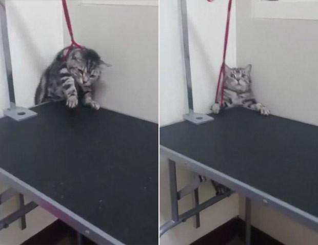 Gato fez cara de pânico ao perceber que está caindo de mesa (Foto: Reprodução/Imgur/Natsdorf)