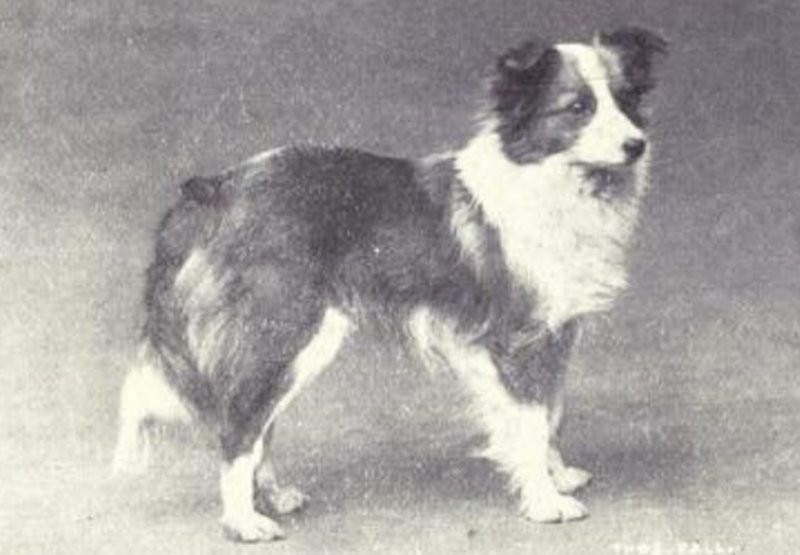 pastor de sheetland (Foto: Dogs of All Nation)