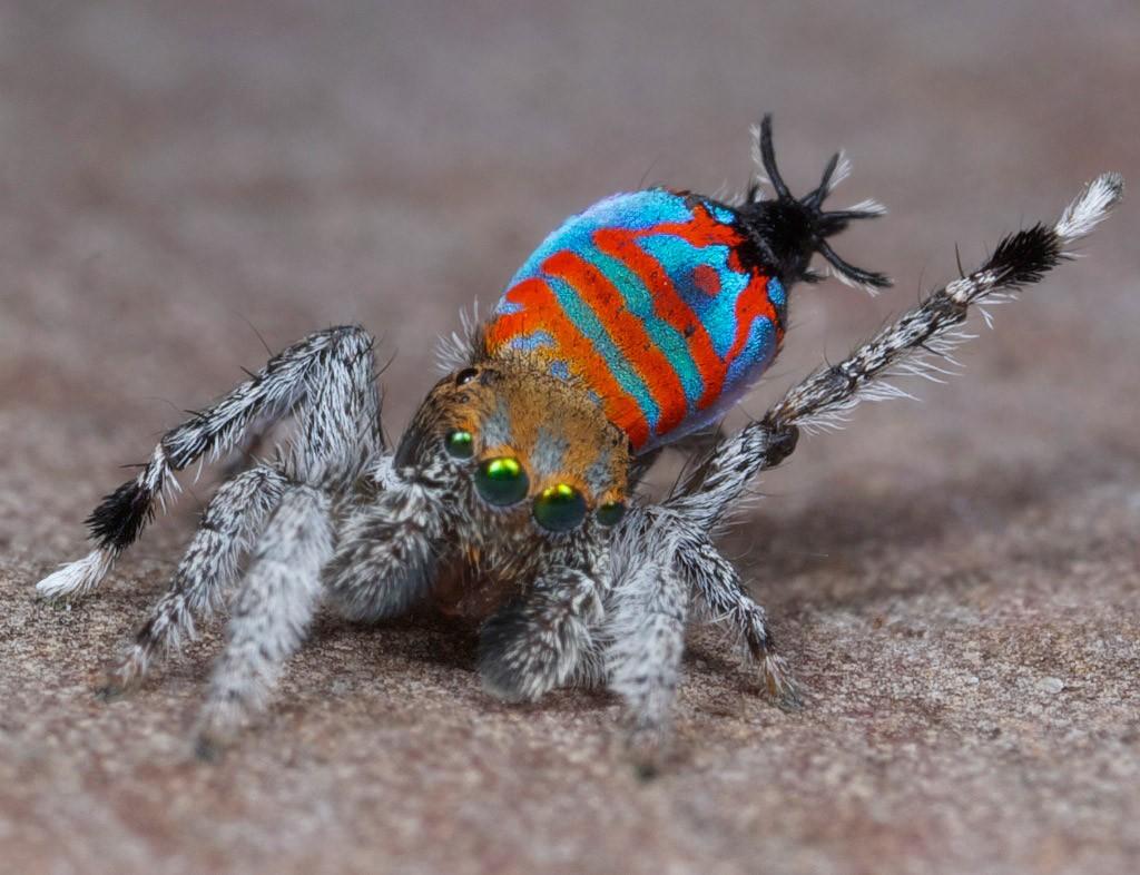 Aranha-pavão (Foto: Jürgen Otto)