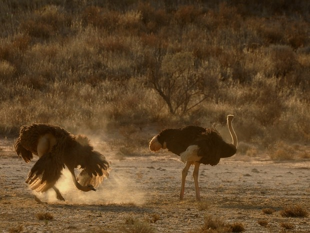 avestruzes áfrica (Foto: Claudia Komesu/ Vc no TG)