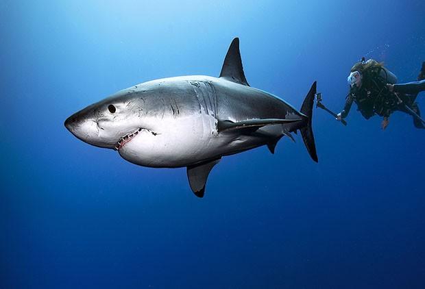 Tubarão branco no último trabalho do fotógrafo brasileiro (Foto: Daniel Botelho)