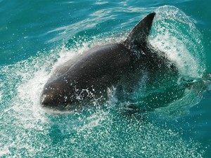 tubarão-branco (Foto: Aguinaldo Matos/TG)