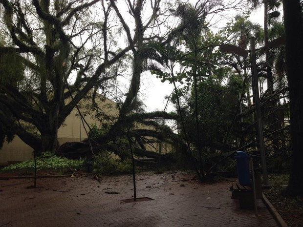 Cai árvore de grande porte do Centro de Convivência de Campinas  (Foto: Marina Ortiz/ G1 Campinas)