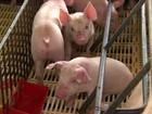 Criadores comemoram alta no preço do suíno e aumento das exportações