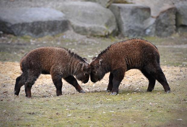 Filhotes de takin tibetano se encaram no zoológico de Berlim (Foto: Jan-Philipp Strobel/AFP)