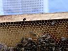 Besouro ataca e ameaça a produção de mel