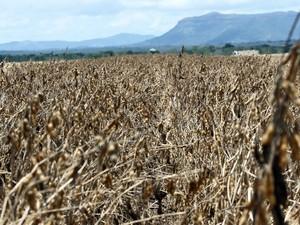 Plantação de grãos foi prejudicada devido à estiagem (Foto: Manoel Junior/Secom)