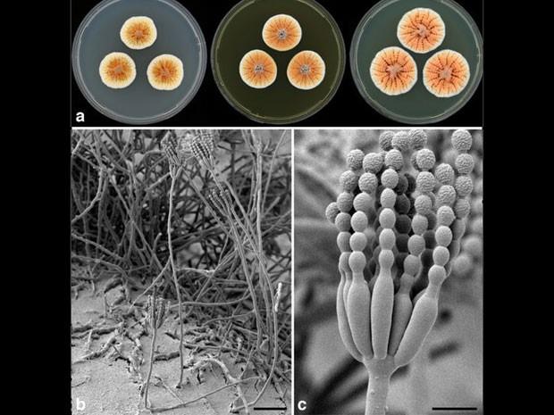 atizada em tributo à família real da Holanda por conta de sua cor laranja, esse fungo (Penicillium vanoranjei) foi isolado na Tunísia (Foto: C Visagie/BBC)