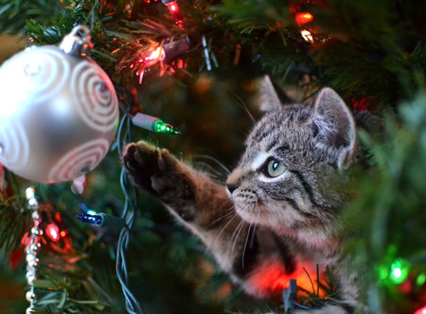 Grey tabby kitten playing with ornament in Christmas tree (Foto: Getty Images/iStockphoto)