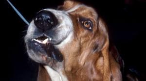 Cão basset da mesma raça do envolvido em incidente (Foto: BBC)