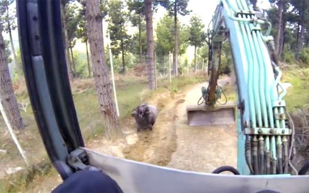 Após atacar motociclista e drone, carneiro 'Rambo' avançou dessa vez contra escavadeira (Foto: Reprodução/YouTube/Buddhanz1)