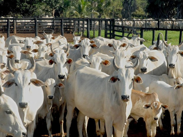 Produtores rurais devem adquirir a vacina para imunizar o rebanho (Foto: Lenito Abreu/Ascom Adapec)