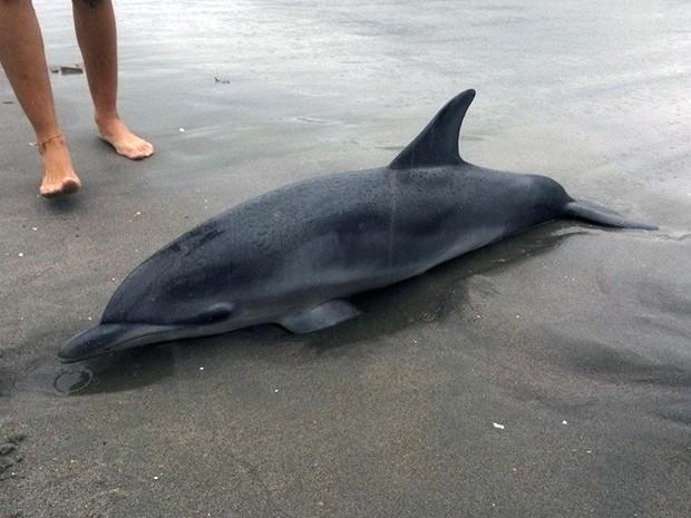 Golfinho é encontrado na Praia de Itamambuca em Ubatuba (Foto: Divulgação/ Aquário de Ubatuba)