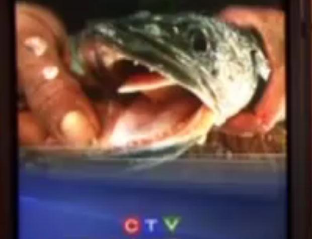 'Fishzilla' foi encontrado em lagoa de parque em Burnaby. (Foto: Reprodução/CTV)