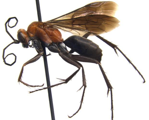 A vespa da espécie 'Agenioideus nigricornis', encontrada pelo jovem Florian Irwin com seu pai (Foto: Universidade de Adelaide/Divulgação)