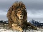 Como o fascínio da humanidade com o 'rei dos animais' acabou com uma espécie
