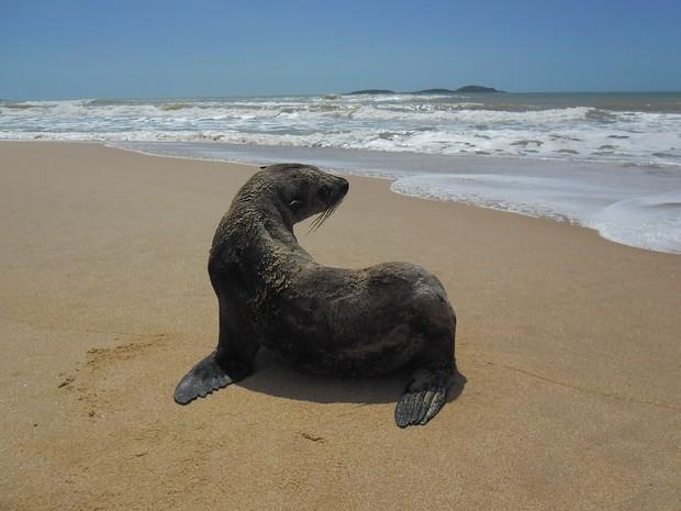 Lobo-marinho aparece no litoral capixaba. (Foto: Divulgação/ Iema)